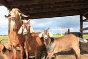 Продаю нубийского козлика,  козла,  возможен обмен