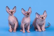 Роскошные из питомника котята канадский сфинкс.