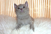 британские котята шоу класса,  наследники чемпионских кровей